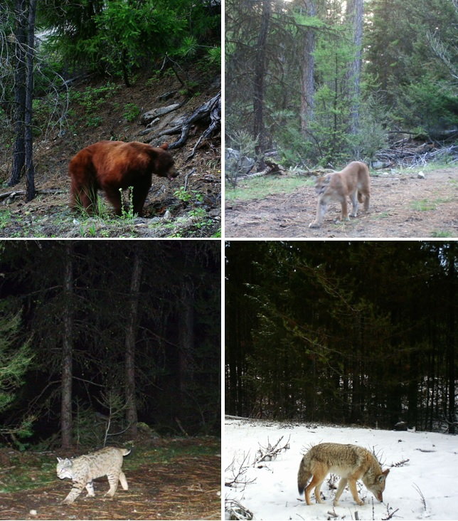 Clockwise from the left - a bear, cougar, bobcat and coyote caught on wildlife cameras in the study site