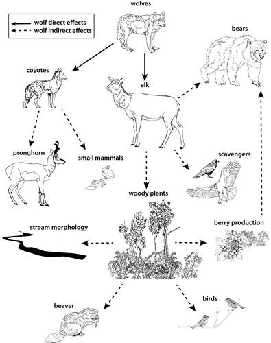 Conceptual diagram showing direct (solid lines) and indirect (dashed lines) effects of grey wolf reintroduction into the Greater Yellowstone ecosystem (Ripple et al. 2014)