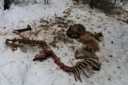 A wolf-kill site