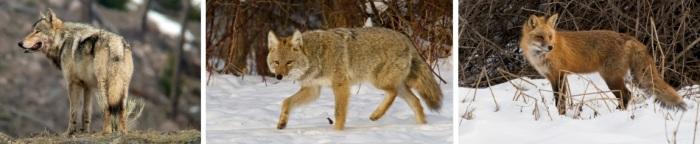 WolfCoyFox