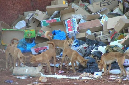 Dingoes scavenge at a waste facility