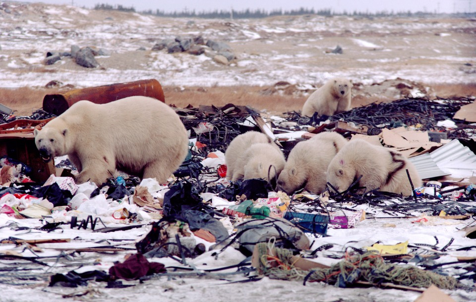 Polar Bears marked with numbers scavenge on the rubbish dump outside Churchill, Manitoba, Canada. (Photo credit B & C Alexander / Arcticphoto.com)