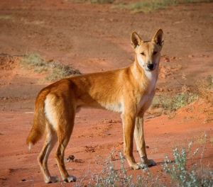 The dingo. Source Bobby Tamayo.