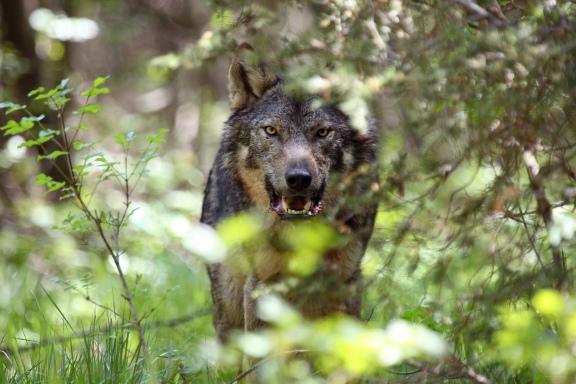 11_05_06 Canis lupus11-ces.jpg